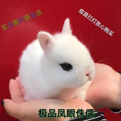 宠弗小兔子长不大垂耳兔迷你熊猫小型侏儒兔茶杯兔宠物公主小白兔 一只(送笼子) 小白兔
