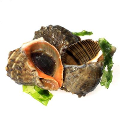 三座海 海螺鮮活 1500g 12-15只 超大只 煙臺大海螺鮮活超大響螺海螺鮮活海鮮水產鮮活