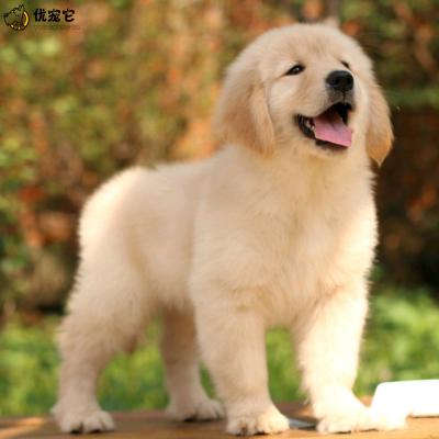 優寵它 活體金毛犬幼犬出售 純種雙血統金毛犬 寵物狗狗 大型黃金獵犬 楓葉金毛 長毛短毛 視頻挑選 空運直達