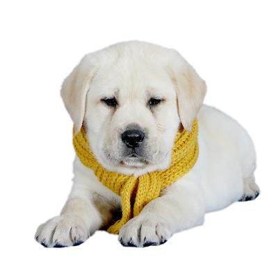 拉布拉多幼犬活体导盲犬 拉布拉多幼犬活体纯种 小宠物狗活体拉布拉多幼崽 中大型犬 小型犬 纯种金毛 白色