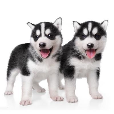 惟愿宠物旗舰店 活体哈士奇犬幼犬 宠物 狗狗 纯种西伯利亚狼雪橇犬 哈士奇 中大型双血统蓝眼三把火哈士奇 二哈 健康保障