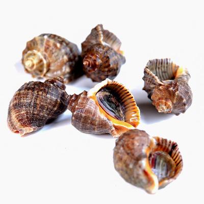 味库新鲜鲜活大海螺大旺螺贝壳类3斤80-100g一只(4-8只 /盒)