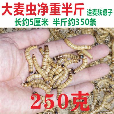順豐大麥蟲金龍魚飼料面包蟲粉蟲子爬寵物廣州發貨足稱 大麥蟲(5厘米)凈重半斤+麥麩半斤