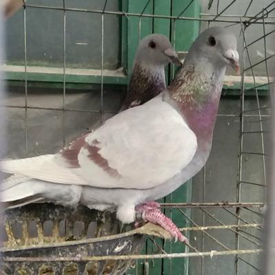 活一對肉鴿白信鴿種鴿觀賞鴿白羽王麒麟花淑女鳳尾小鴿 紅輪成年信鴿一對紅