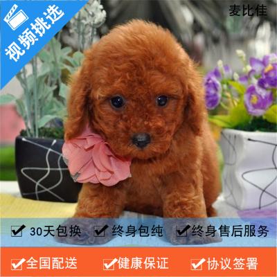 麥比佳純種泰迪幼犬活體狗狗 茶杯型紅泰迪幼犬長不大的泰迪狗狗白色小型犬 雙血統賽級玩具型狗狗貴賓犬灰色泰迪犬比熊泰迪