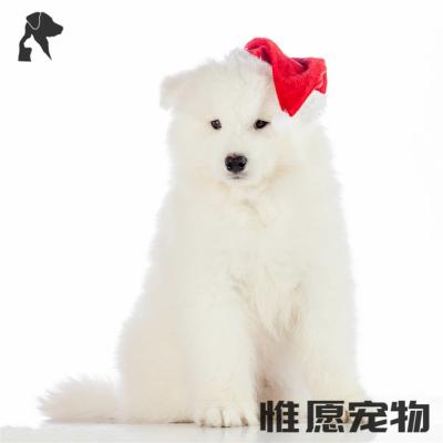 惟愿宠物 上新 萨摩耶犬幼犬活体 双血统纯种西伯利亚雪橇犬微笑天使萨摩小白狗公母宠物狗狗活体小狗幼崽疫苗齐全