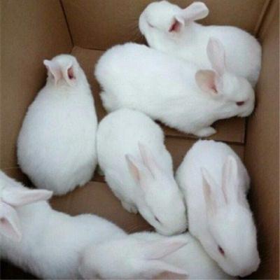 宠弗兔子肉兔大型新西兰小白兔子比利时杂交野兔苗可长10斤可繁殖 可选公母(一只装) 中华小黑兔