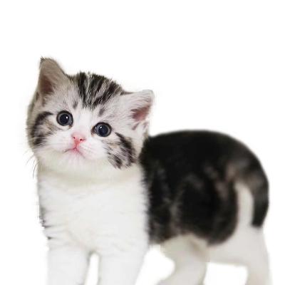 喜喵国际名猫 美短加白猫 猫活体 宠物猫活体 猫咪活体 美国短毛猫 纯种宠物猫活体 小猫咪 美短幼猫幼崽起司猫活体