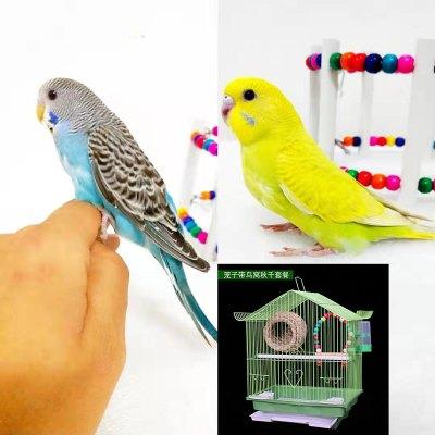 寵弗 寵物鳥活物訓練活鳥虎皮化云斑情侶愛情鳥類手養鳥