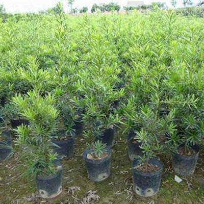 羅漢松樹苗花卉盆栽植物雀舌羅漢松樹苗日本羅漢松羅漢松盆景綠植40-50CM不含盆