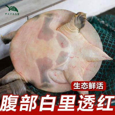 寵弗 包活0.5-5斤當天抓外塘生態放養甲魚團魚水魚中華鱉老鱉