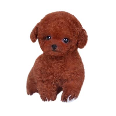 麥比佳寵物 泰迪犬幼犬 狗狗活體 純種血統級小體茶杯泰迪 貴賓犬 迷你玩具型微小體 卷毛貴賓犬茶杯犬 視頻挑選