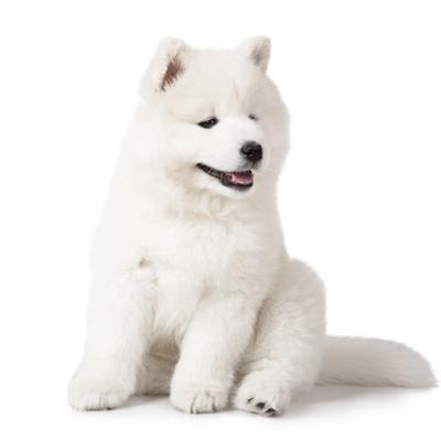 惟愿寵物旗艦店 活體薩摩耶犬幼犬 純種薩摩耶雪橇犬 白色薩摩 雙血統寵物狗狗 中大型犬 澳版 熊版薩摩耶