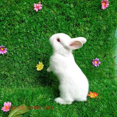 宠弗小兔子长不大垂耳兔迷你熊猫小型侏儒兔茶杯兔宠物公主小白兔 两只情侣兔 一字熊猫兔
