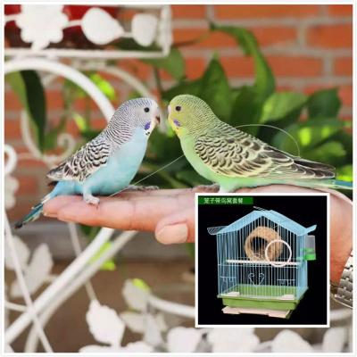 寵弗 活鳥小鳥寵物鳥云斑鳥化手養鳥親人上手鳥包活