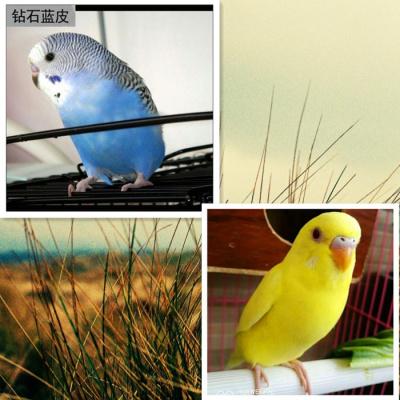 寵弗 鳥虎皮活鳥寵物鳥活物虎皮情侶云斑鳥
