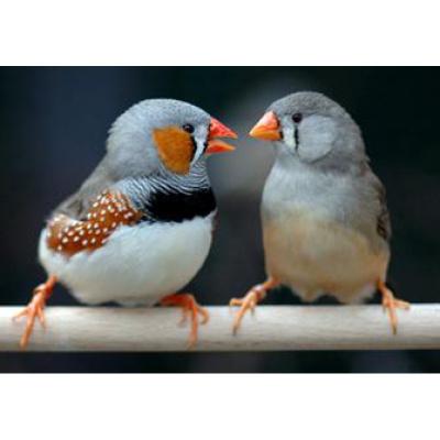 寵弗 鳥寵物情侶灰白珍珠活物觀賞親人易手養鳥體型小聲音一只