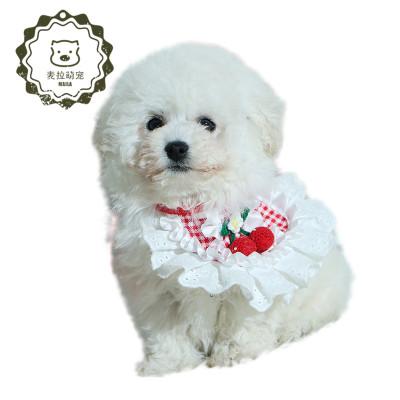 【活動價】純種泰迪犬 貴賓犬泰迪 幼犬娃娃臉小 泰迪狗狗 家庭伴侶犬