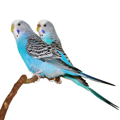 马特维(matewei)宠物活体虎皮鹦鹉宠物手养小鸟玄凤鹦鹉说话鸟蓝色虎皮2只(一公一母)