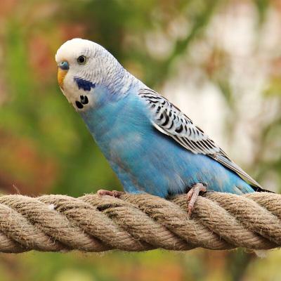 马特维(matewei)宠物活体虎皮鹦鹉宠物手养小鸟玄凤鹦鹉说话鸟蓝色虎皮1只