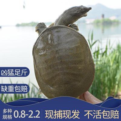 寵弗 外塘生態大甲魚鮮活食用團魚野外放養老鱉水魚甲魚