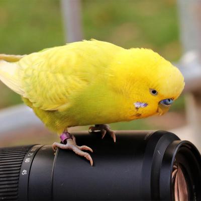 马特维(matewei)宠物活体虎皮鹦鹉宠物手养小鸟玄凤鹦鹉说话鸟黄色虎皮2只(一公一母)