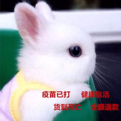 小兔子侏儒兔迷你长不大小型公主熊猫垂耳小白兔小型宠物兔 纯白侏儒兔 只