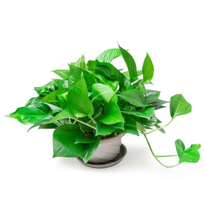 葉小米帶盆栽好綠蘿盆栽室內長藤綠籮植物吊蘭吸除甲醛綠植水培植物花卉