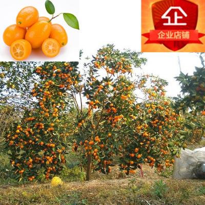 庭院盆栽陽臺種植果樹苗金桔苗脆皮金橘苗帶果嫁接甜橘子苗連皮吃