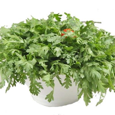 津沽园艺 蔬菜种子 小叶茼蒿 清香可口 阳台种植 无公害蔬菜